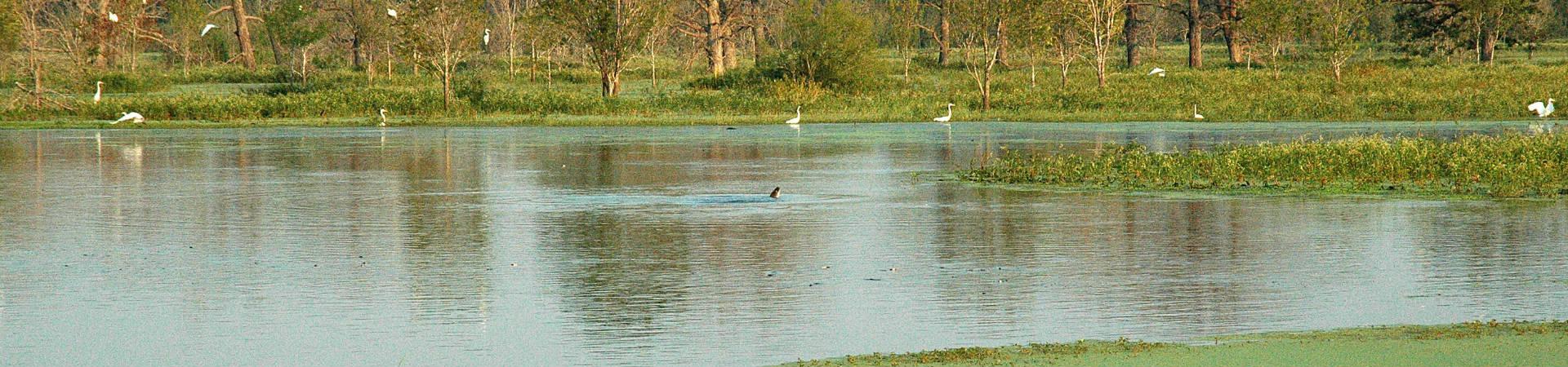 Wetlands-gator-DSC_0056